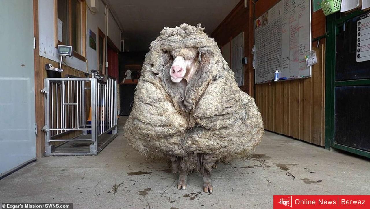 image 14 - 35 كيلوجرام صوف جزت من خروف واحد يتصدر الصحف الأسترالية