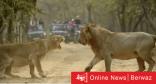 لبؤة تصفع أسد وفيديو يثير سخرية واسعة على مواقع التواصل الاجتماعي