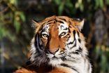 نمر يهاجم حارسة في حديقة حيوان أمريكية