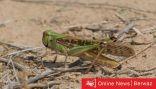 «الزراعة» تكشف عن سرب من الجراد شمال الكويت.. وتتبع حركته