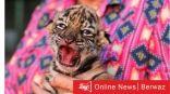 إطلاق اسم كوفيد على نمر حديث الولادة بحديقة حيوانات بالمكسيك للتوعية بالبيئة