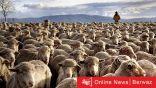 أستراليا تمنع تصدير الأغنام للكويت هذا الصيف