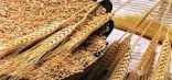 مصر ترفض 23 ألف طن من القمح الأمريكي المستورد !